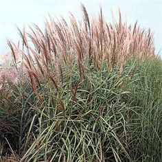 Purple silver and green on pinterest for Ornamental grass with purple plumes