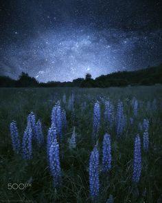 Lupine at night by mariuskasteckas Mountains At Night, Night Scenery, Night Flowers, Night Aesthetic, Sky Art, Night Photos, Dark Skies, Night Photography, Stunning Photography