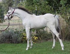 Welsh Pony | 2010 Section B Welsh Pony filly Clanfair Caledonia