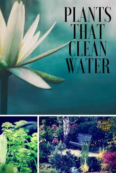 Plants That Clean Water Plants in aquatic systems can improve water quality and absorb bacteria, metals, and chemicals. You can make a pond garden in your yard that filters water. Water lilies and iris's are two great pond plants that also filter water. Water Garden Plants, Pond Plants, Aquatic Plants, Garden Ponds, Water Plants For Ponds, Fish Ponds Backyard, Bog Garden, Indoor Water Garden, Koi Ponds