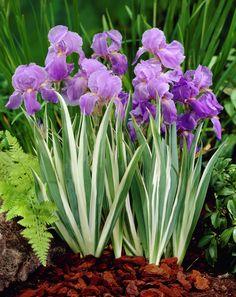 Dalmatian iris • Iris pallida • Sword Lily • Iris, flag Iris pallida var. dalmatica • Plants & Flowers • 99Roots.com