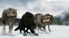 jacob and the pack as wolves | Jacob, Edward & Bella Tease 'The Twilight Saga: Breaking Dawn 2 ...