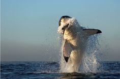 Страшные и прекрасные акулы - 22 фотографии