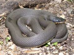 Image Search Results for missouri snakes