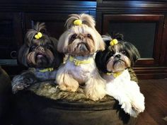3 beautiful shihtzus