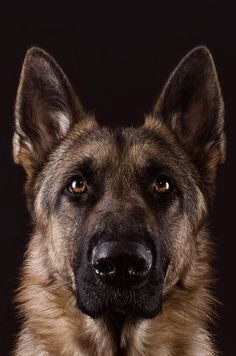 Lovely head study of German Shepherd