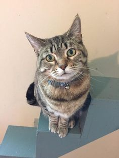 Miranda is an adoptable Domestic Short Hair searching for a forever family near Muncie, IN. Use Petfinder to find adoptable pets in your area.