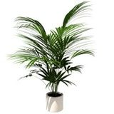 3. Areca or Golden Palm