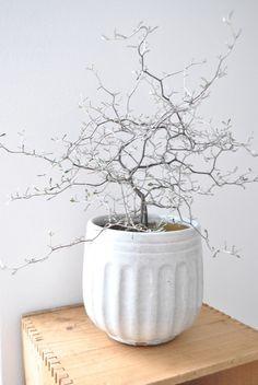 """Som jag har letat efter en """"Sophora"""" eller en """"Corokia"""" och nu har jag äntligen hittat en. Det blev en """"Corokia"""" som för tillfället får bo inne i vårt arbetsrum. Dessa två växter är ju riktigt…"""