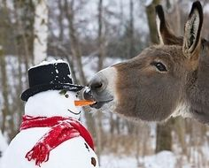 Snowman: Hey you Donkey! Donkey: What? Snowman: What are you doing? Donkey: Eating a carrot, so? Snowman: It's my nose! Donkey: Then get a real nose! Not a carrot nose! Farm Animals, Animals And Pets, Funny Animals, Cute Animals, Wild Animals, Beautiful Creatures, Animals Beautiful, Foto Cowgirl, Tier Fotos