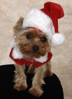 Yorkshire Terrier – Energetic and Affectionate Yorkies, Yorkie Puppy, Yorkshire Terriers, Christmas Animals, Christmas Dog, Merry Christmas, Cute Puppies, Cute Dogs, Pets