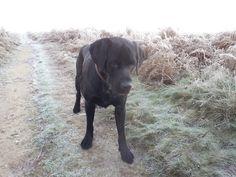 Bentley Labrador Retriever, Dogs, Photography, Animals, Labrador Retrievers, Animales, Animaux, Pet Dogs, Doggies