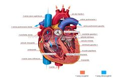 human being > anatomy > blood circulation > heart image - Visual Dictionary Exercise Physiology, Anatomy And Physiology, Tricuspid Valve, Visual Dictionary, Human Body Systems, Healthy Man, Lunge, Heart Images, Making Life Easier