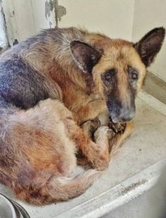 Senior German shepherd languishing at high kill California shelter