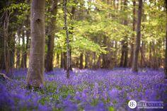 Bluebell Woodland by thesashabell.deviantart.com on @deviantART