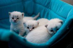 ragdoll kittens! <3 love love love.