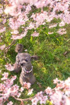 Kohigan cherry blossoms.