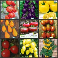Free Shipping $0.99/Pack Purple/Yellow/Red/Black/Green Tomato Seeds Fruit Vegetables Seeds-in Bonsai from Home & Garden on Aliexpress.com | Alibaba Group