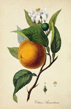 Read the full title Fruit Kitchen Wall Art Print, Antique Botanical Illustration, , Fruit Orange Print, Rustic Vintage Kitchen Wall Art Poster