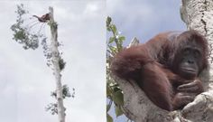 Orangutan Clings To Only Tree Left After People Destroy Her Home