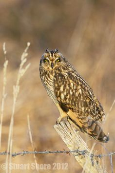 """Short Eared Owl on a Post by Stuart Shore, via 500px. """"Wild Short Eared Owl (Asio flammeus), photographed in late evennig sunlight, Isle of Wight UK."""""""