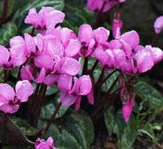 A Ciklamen a legelterjedtebb virágzó cserepes növény az egész világon. Nem csak virágai díszítenek, hanem szürkés, márványozott levelei is. Cyclamen persicum, Ciklámen öntözése.