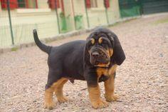 Bloodhound Puppy Dog this looks like my baby boy when we got him