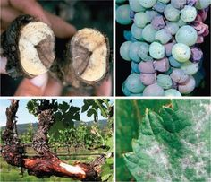 DISEASES of GRAPES - Agriculture Agriculture, This Or That Questions, How To Make, Crafts, Manualidades, Handmade Crafts, Craft, Crafting