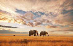 Elephants in the Amboseli National Park, Kenya