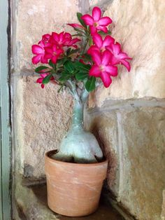 Desert Rose, Container Gardening, Indoor Plants, Creative Art, House Plants, Planting Flowers, Beautiful Flowers, Orchids, Bloom