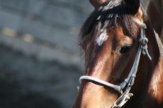 caballo chileno