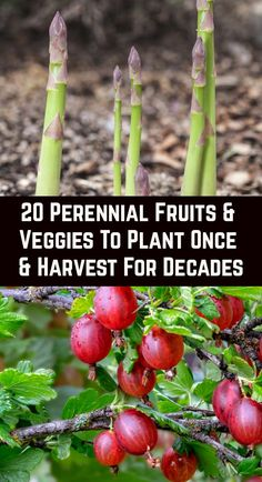 Growing vegetables and fruits in the home garden is rewarding, but many people are put off by the backbreaking work involved at the start of the growing season. Perennial edibles are the answer… More blooming Perennials
