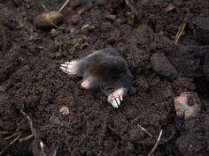 Mole, Nature, Animals, Molehills