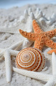 Sundial Shell With Starfish Photograph by Carol McGunagle