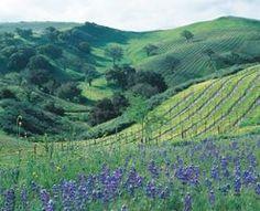 Santa Barbara County Vineyard - love the rolling hills of wine country!  #wine #vineyard #santabarbara