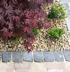 Rumbled Kerb with Acer and Box Driveways, Acer, Garden Design, Box, Plants, Sidewalks, Snare Drum, Landscape Designs, Plant