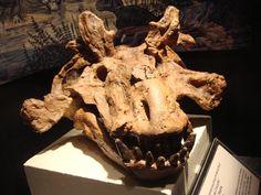 Estemmenosuchus mirabilis skull at AMNH | Flickr - Photo Sharing!