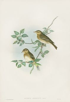 Anthus Arboreus Tree Pipit USD $350 Gould Song Birds & Perching Birds 1862