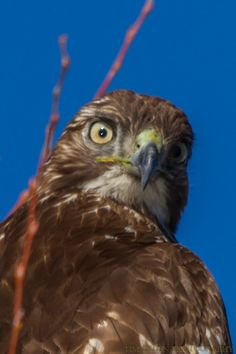Google+Double Vision--- I was surprised to discover that the eyes on some birds like this red-tail hawk adjust separately. As seen here in this bird in the Lower Klamath Lake Wildlife Refuge, the pupils of the eyes open independently which enhances their depth perception.