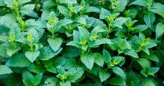 Herbs, Health, Garden, Lemon Balm, Garten, Health Care, Lawn And Garden, Herb, Gardens