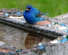 Indigo Bunting on bird bath