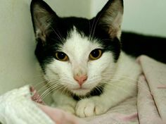 TO BE DESTROYED 6/25/14 ** Meet Eclipse and Elefante! These guys are 5 months old, are eating well, and are otherwise apparently healthy. ** Manhattan Center  My name is ELEFANTE. My Animal ID # is A1002187. I am a male white and black domestic sh mix. The shelter thinks I am about 5 MONTHS old.  I came in the shelter as a STRAY on 06/05/2014 from NY 10031. I came in with Group/Litter #K14-179689.