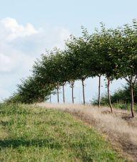 Montmorency Kirschen. Sauerkirschbäume im Frühling