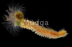Phylum Annelida Class Polychaeta Family Sabellariidae
