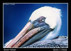 how to draw a brown pelican - Google Search