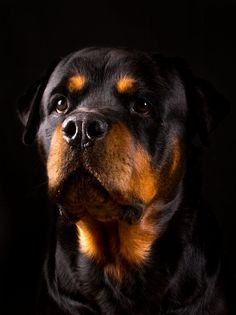 """Determine additional information on """"rottweiler dogs"""". Take a look at our site. Rottweiler Training, Rottweiler Puppies, I Love Dogs, Cute Dogs, Rottweiler Pictures, German Dog Breeds, Mundo Animal, Tier Fotos, Training Your Dog"""