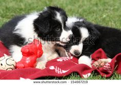 stock-photo-adorable-border-collie-puppies-playing-in-the-garden-154667219.jpg (450×320)