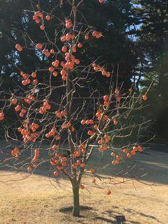 Shsron fruit tree / persimmon Japanese gardent