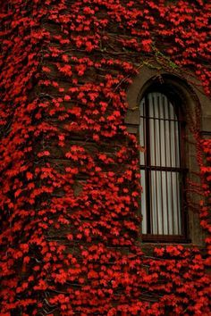 Crimson Ivy, Paris, France