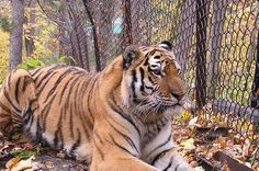 Take Action Amur tiger
